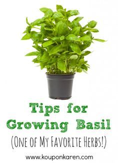 Tips for Growing Basil {One of my Favorite Herbs} | http://www.kouponkaren.com/2014/05/tips-for-growing-basil/