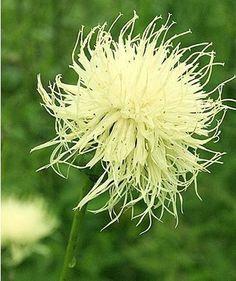 Centaurea ruthenica  - Fleur