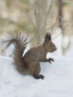 eurasian red squirrel | Eurasian Red Squirrel (Sciurus Vulgaris Orientis), Near Lake Kussharo ...