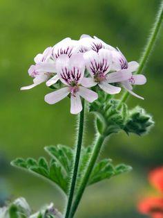 #Pelargonium #chamaedrifolium