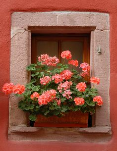 coral flowers and window box ~ Alsace, France