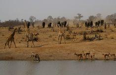 Large herds of animals come to drink at Shimangwaneni dam on the Elephant Walk, Giraffe, Portrait Images, Pet Portraits, Kruger National Park, National Parks, Lion Walking, Buffalo Bulls, Baobab Tree