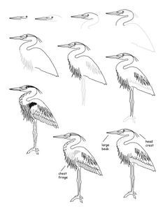 How to draw a great blue heron