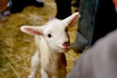 Are you kidding me with this cuteness?!  This is from Perry's Plate (from a trip to a farm)