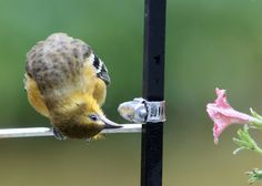 Cute Reflection - Baby Oriole