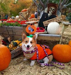 What would Halloween be on The Daily Corgi without low riders in groovy and ghoulish get-ups? Just not the same, that's what! Go forth and get your Corg-O-Ween on, friends! Murray Colton Morty in his pumpkin sweater. Lola knows the secret ingredient in the special spooky sauce. Corgi Club Bilbo Gnome Dognald Trump Batgirl, aka [...]