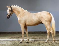 Birkenhain Capricorn 2013 German Riding Pony colt... - German & Dutch Riding…