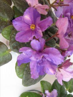 БО-Азбука Морзе(сеянец,стандарт).Розетка цветёт(фото моё).