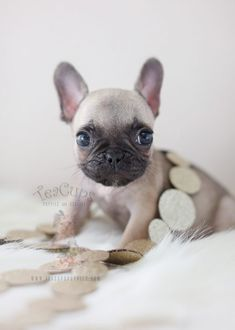 Tiny French Bulldog Puppy For Sale by TeaCup Puppies - Pug Puppies Teacup Puppies For Sale, Bulldog Puppies For Sale, French Bulldog Puppies, Pug Puppies, Chihuahuas, Cute Puppies For Sale, Teacup French Bulldogs, Cute French Bulldog, Baby Animals