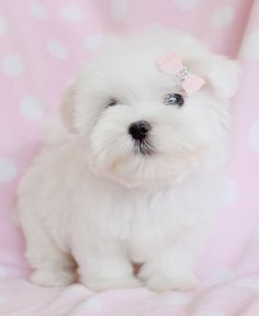 Browse our selection of Tiny Teacup Maltese puppies on our website. Toy Maltese puppies are conveniently small and cute. Check our Micro Teacup Maltese on sale. Maltese Puppies For Sale, Teacup Puppies For Sale, Puppies And Kitties, Maltese Dogs, Baby Puppies, Cute Puppies, Cute Dogs, Teacup Maltese, Baby Maltese