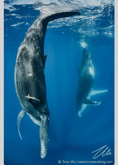Humpback whale female calf mimicking her mother – Stock Image – – Humpback whale (Megaptera novaeangliae) The Effective Pictures … Rare Animals, Strange Animals, Whale Art, Wale, Delphine, Ocean Creatures, Humpback Whale, Jolie Photo, Killer Whales