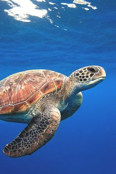 Swimming Sea Turtle photography animals animal photography ideas sea turtle cool photography animal photography