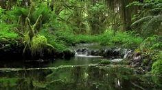 Stream near Lake Quinault, Olympic National Park, WA