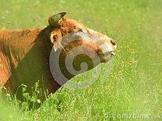 Cow enjoying sun in the meadow