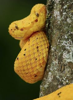 bocaraca snake