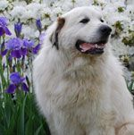 Great Pyrenees Rescue.