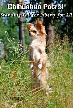 Chihuahua Patrol: standing tall for liberty for all.