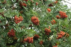 Sorbus aucuparia  Mountain-ash or Rowan tree loaded with red berries.