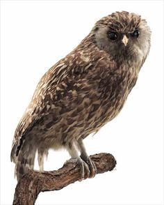 The laughing owl or whekau was twice the height of a morepork.It nested in bluffs and rock outcrops.Its calls were loud shrieks, soft cooees, or high-pitched yelps and it was sometimes called the laughing jackass.Its prey included kiwi and ducks. In the early 1800s the laughing owl was quite common in parts of the South Island, but it declined rapidly from the 1880s.The last confirmed report was of one found dead in South Canterbury in 1914, although informal reports continued up to the…