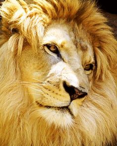 What a lovable looking Lion - Aslan Lion And Lioness, Lion Of Judah, Beautiful Creatures, Animals Beautiful, Cute Animals, Big Cats, Cool Cats, Beaux Couples, Beautiful Lion