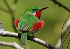 The Narrow-billed Tody (Todus angustirostris) is a species of bird in the Todidae family. It is found in the Dominican Republic and Haiti. Photo: Dax Román E.