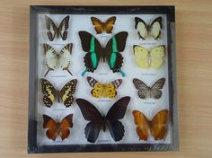 Real butterfly taxidermy frame size 12 x 12 inches. Shadow box 3D view. Ready for hanging. This listing is unique item that you will receive