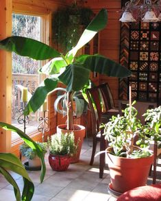 A banana tree takes roughly 9 months to grow up and produce a branch of bananas. Then the mother plant dies. But round the base of it are many suckers, little baby plants. Banana Plant Indoor, Banana Plants, Como Plantar Banana, Container Gardening, Gardening Tips, Urban Gardening, Grow Banana Tree, How To Grow Bananas, Mother Plant