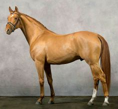This horse is stunning! ~ Devastating Warmblood ( I think a Holsteiner, or possible Trakehner ) Types Of Horses, Horses And Dogs, Cute Horses, Horse Love, Show Horses, All The Pretty Horses, Beautiful Horses, Animals Beautiful, Warmblood Horses