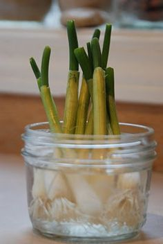 """The next time you have green onions, don't throw away the white ends. Simply submerge them in a glass of water and place them in a sunny window. Your onions will begin to grow almost immediately and can be harvested almost indefinitely. We just use kitchen scissors to cut what we need for meals. I periodically empty out the water, rinse the roots off and give them fresh water."""