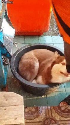 Husky is hot= #aww #cute #cutecats #dinkydogs #animalsofpinterest #cuddle #fluffy #animals #pets #bestfriend #boopthesnoot