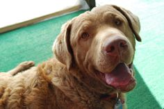 "Ellis Farms ""Magnum"" 1/2014 Chesapeake Bay, Farms, Labrador Retriever, Dogs, Animals, Labrador Retrievers, Homesteads, Animales, Animaux"