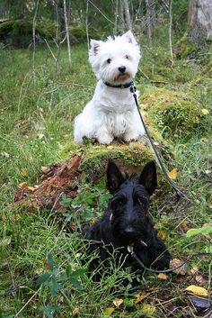 .Scottie & Westie- two of my favorite breeds!