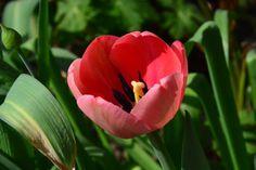 Aamun uudet tulppaanit