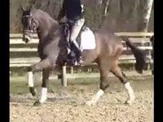 www.sporthorses-online.com 2010 Hanoverian gelding for sale