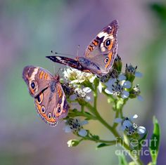 We Make A Beautiful Pair by Deena Stoddard  #butterflies #nature #floral