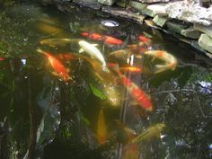 Koi Pond Orlando Florida I like!!!! I'd have one out back but the dogs would be fishing everyday=)