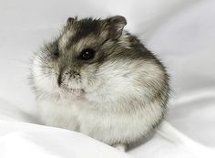 Own a Siberian Dwarf Hamster. Dwarf hamster figures are so adorbs! Chinese Dwarf Hamster, Russian Dwarf Hamster, Syrian Hamster, Hamster Live, Bear Hamster, Robo Dwarf Hamsters, Funny Hamsters, Hamster Wallpaper, Cute Baby Animals