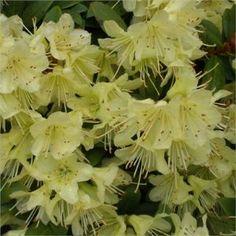 9cm Pot Dwarf Rhododendron  Princess Anne AGM Yellow Flowers Garden Shrub Plant