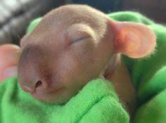 Baby Koala I wanna care for this lovely little koala❤️❤️❤️❤️❤️