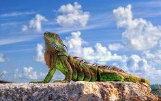 Флоридский дракон