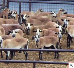 The Barbados Blackbelly sheep, a true hair sheep, is a popular option for small acreage grazing. Red Sheep, Baa Baa Black Sheep, Sheep Farm, Sheep And Lamb, Sheep Dogs, Farm Animals, Cute Animals, Goat Art, Sheep Breeds
