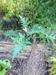 Artichoke plant on Hazelip-bed. Artichoke Plants, Bed, Stream Bed, Beds