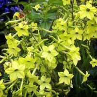 New Home Garden Plant 40 Seeds Nicotiana Alata Lime Green Flower Seeds Free Shipping