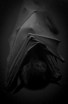 Little Black Bat