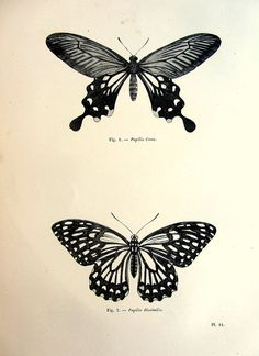 1860 Nice Vintage butterflies engraving by LyraNebulaPrints, $24.99