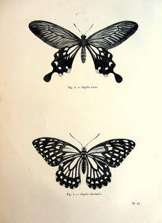 1860 Nice Vintage  butterflies engraving by LyraNebulaPrints, $24.99