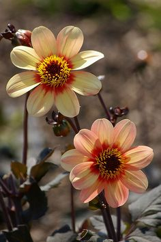 Avert, Manage, And Eliminate Black Mildew Dahlias Ana Rosa All Flowers, My Flower, Beautiful Flowers, Happy Flowers, Yellow Flowers, Spring Flowers, Fleur Orange, Bouquet, Gladioli