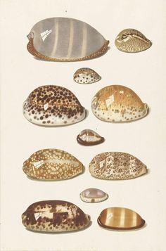 Elf grote en kleine tropische kaurie schelpen, Johann Gustav Hoch, 1726 - 1779