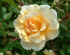 Rosa 'Buff Beauty' Whenever I see this, I really like to know where they ca get this and post them just like what they are..