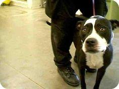 ARIZONA ~ URGENT ~ .     Breed:    American Pit Bull Terrier Mix    Color:    Unknown    Age:    Adult        Size:    Large 61-100 lbs (28-45 kg)    Sex:    Male     ID#:    5201140      I am already neutered.    NAVY's Story...       Act quickly to adopt NAVY. Pets at this shelter may be held for only a short time ~Maricopa County Animal Care & Control - West Shelter  Pet ID #:5201140  Phone:  (602) 506-7387 ~ re-pinned 12/04
